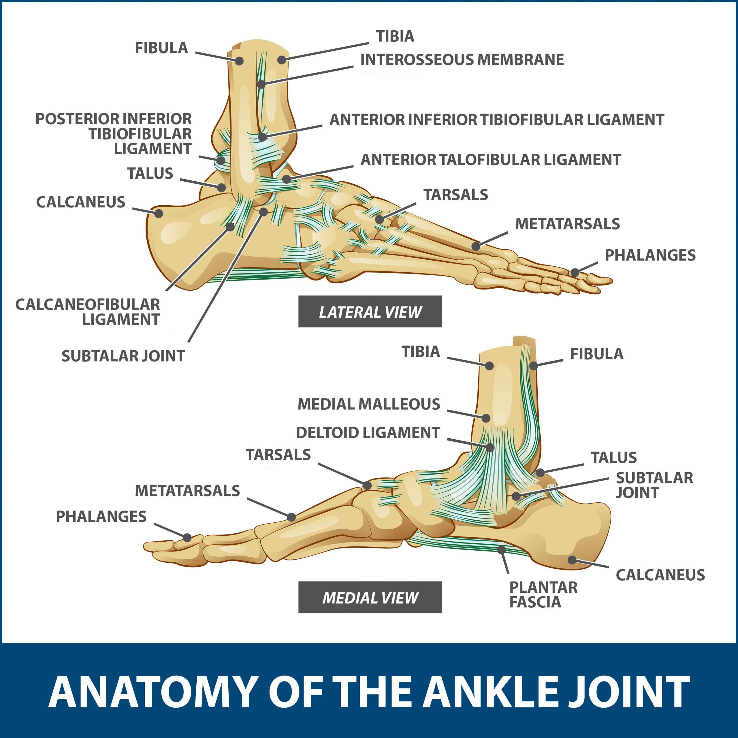 articular cartilage 153