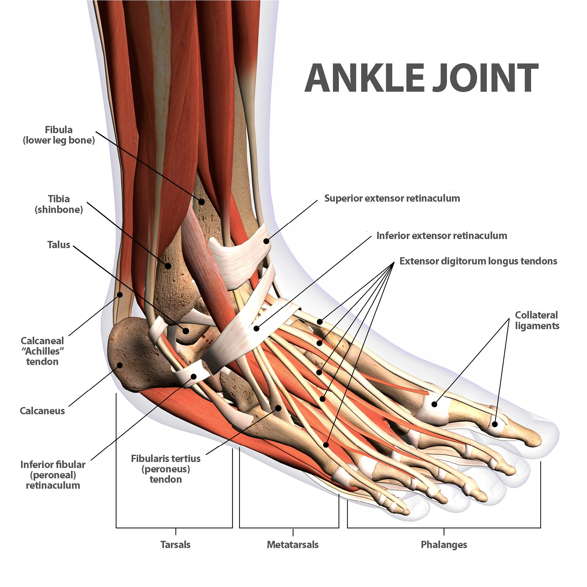 Ankle Fractures Broken Ankle | Florida Orthopaedic Institute
