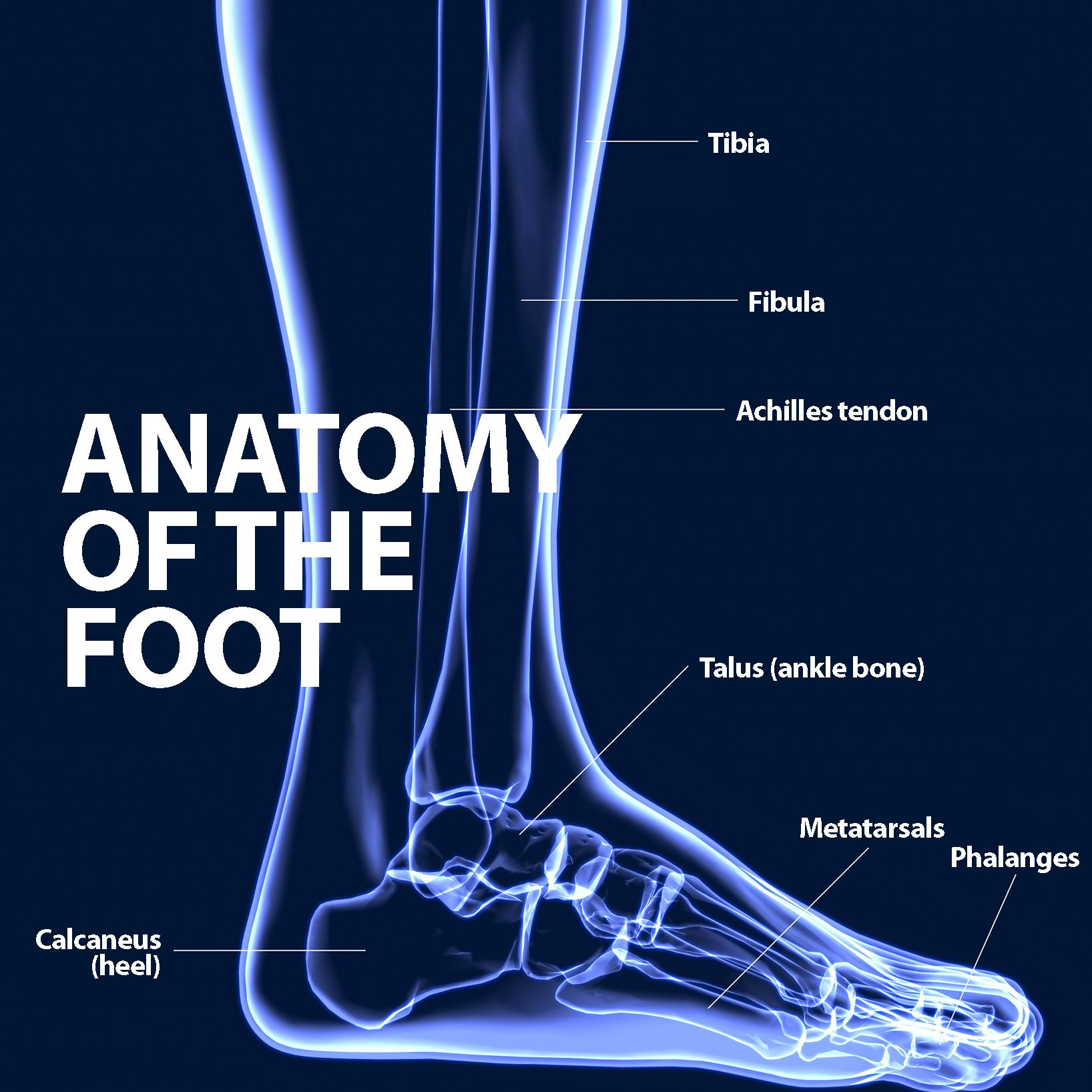 Ankle Fusion Foot Anatomy