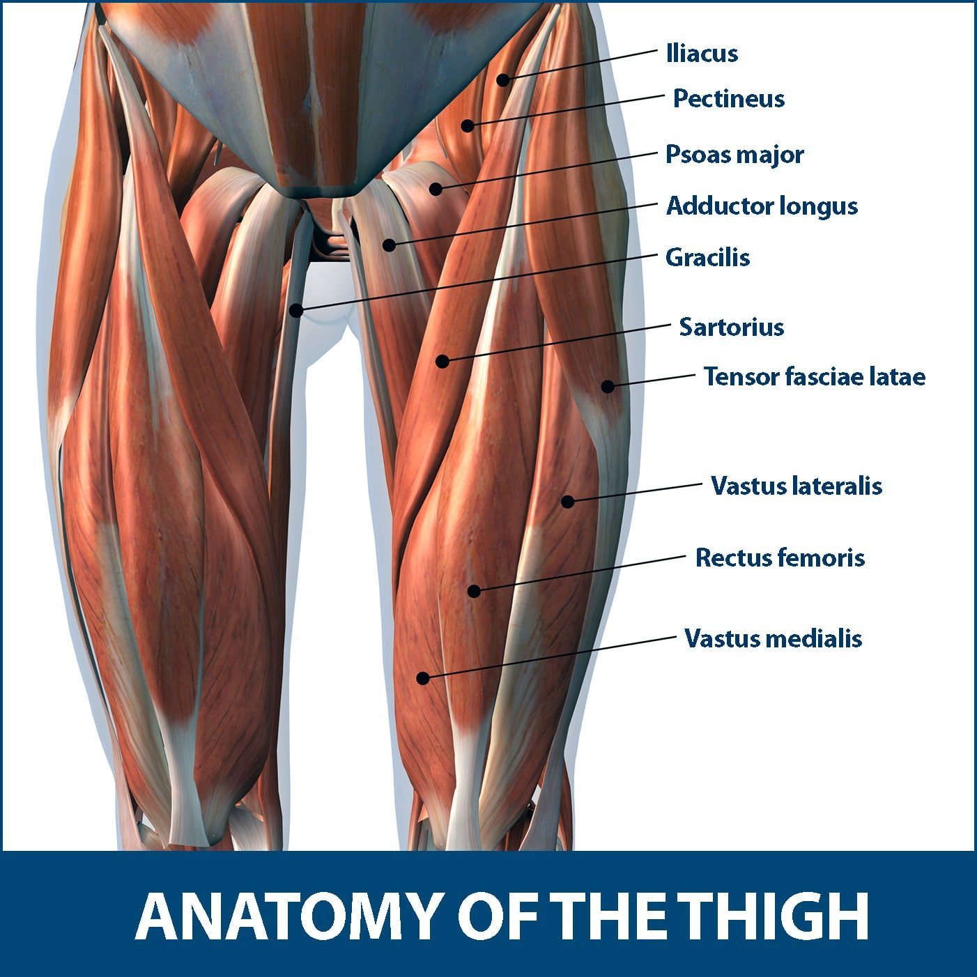 Thigh Muscle Strains Anatomy of Thigh