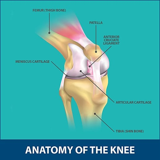 Partial Knee Replacement anatomy