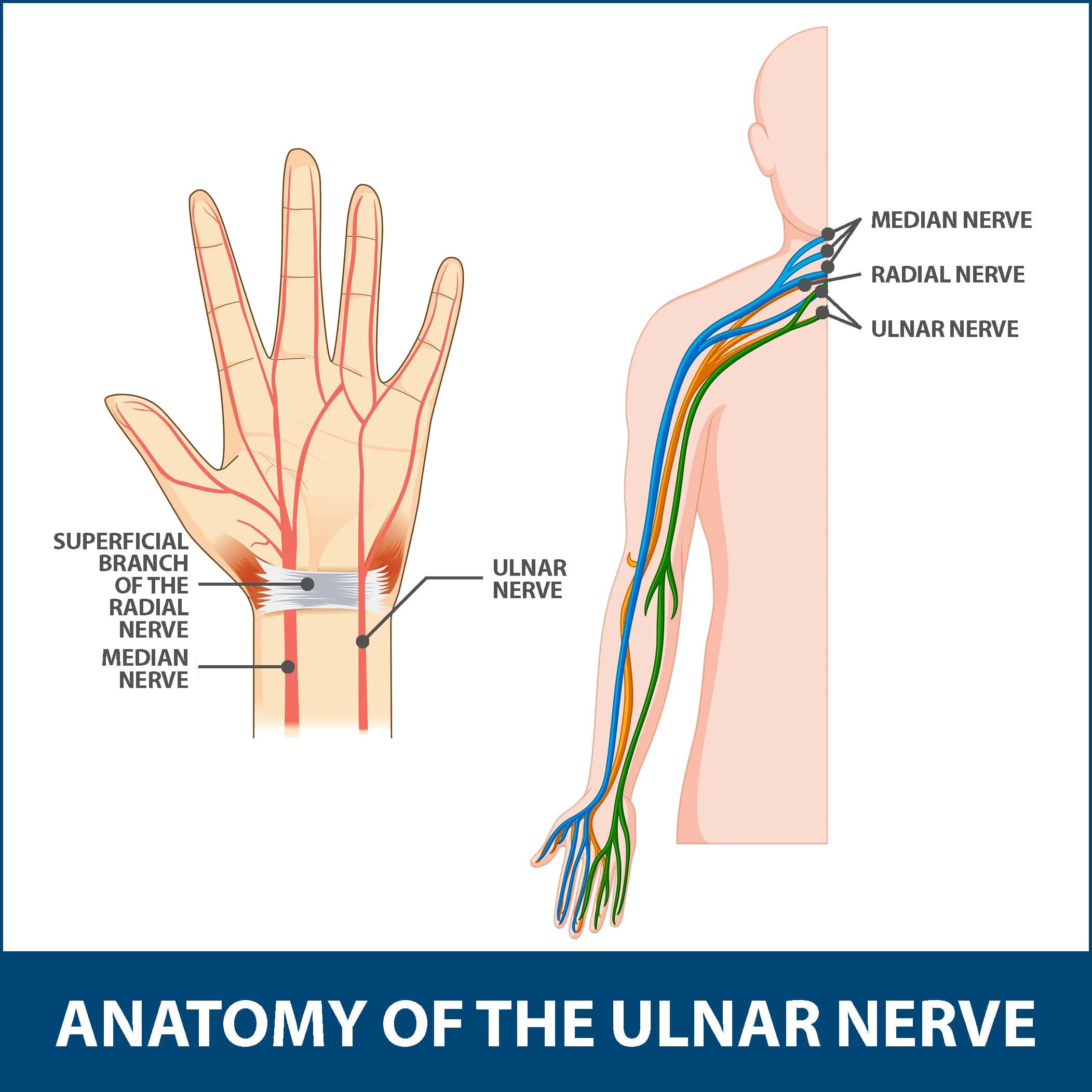Ulnar Neuritis Anatomy