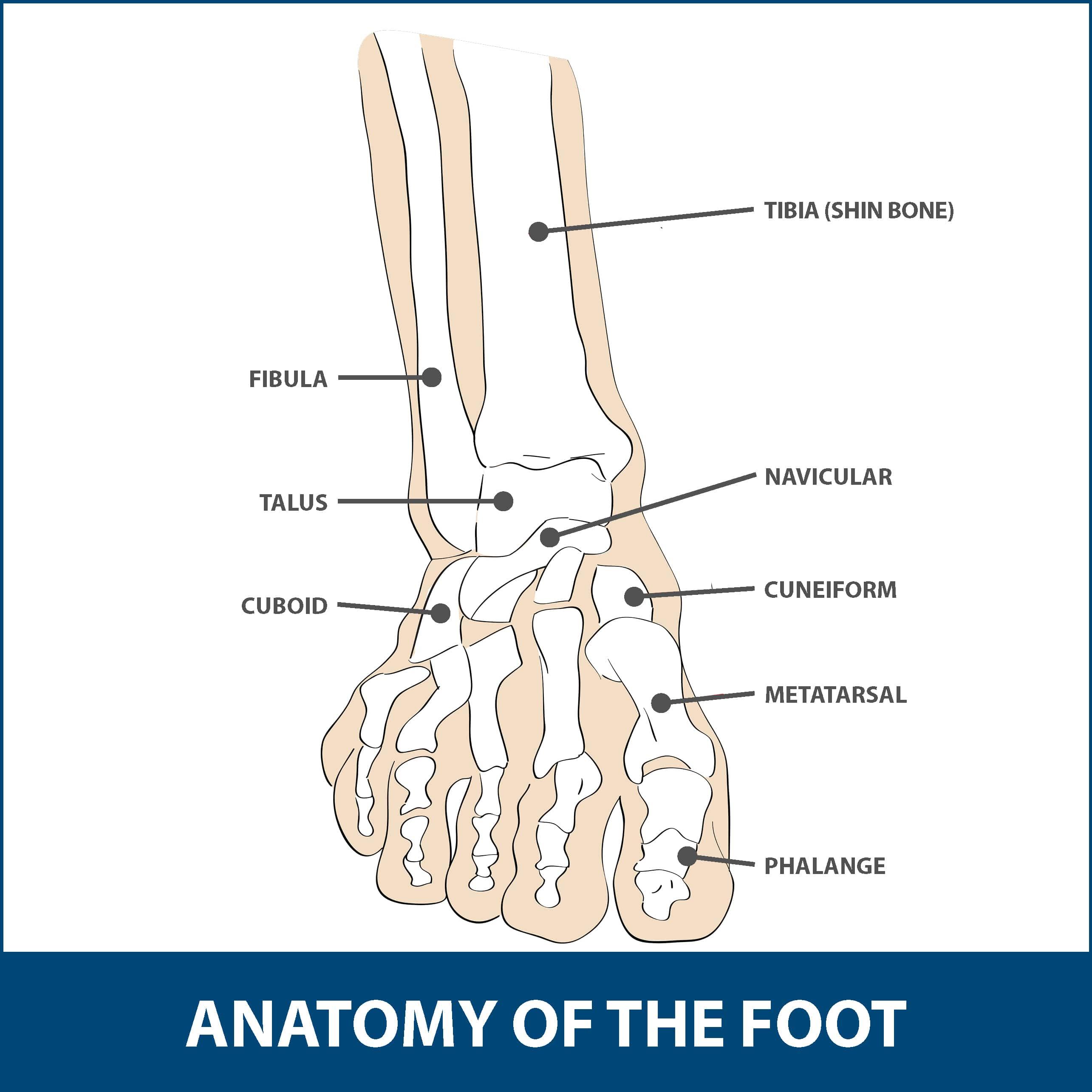 Bunions Anatomy of Foot