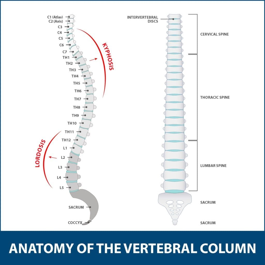 Kyphosis Anatomy of Vertebral Column