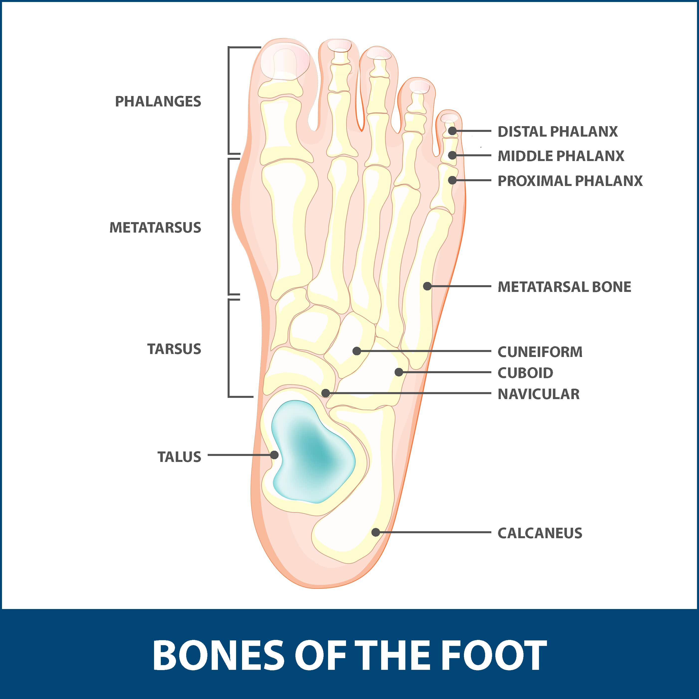 Hallux Rigidus, diagram of the bones of the foot