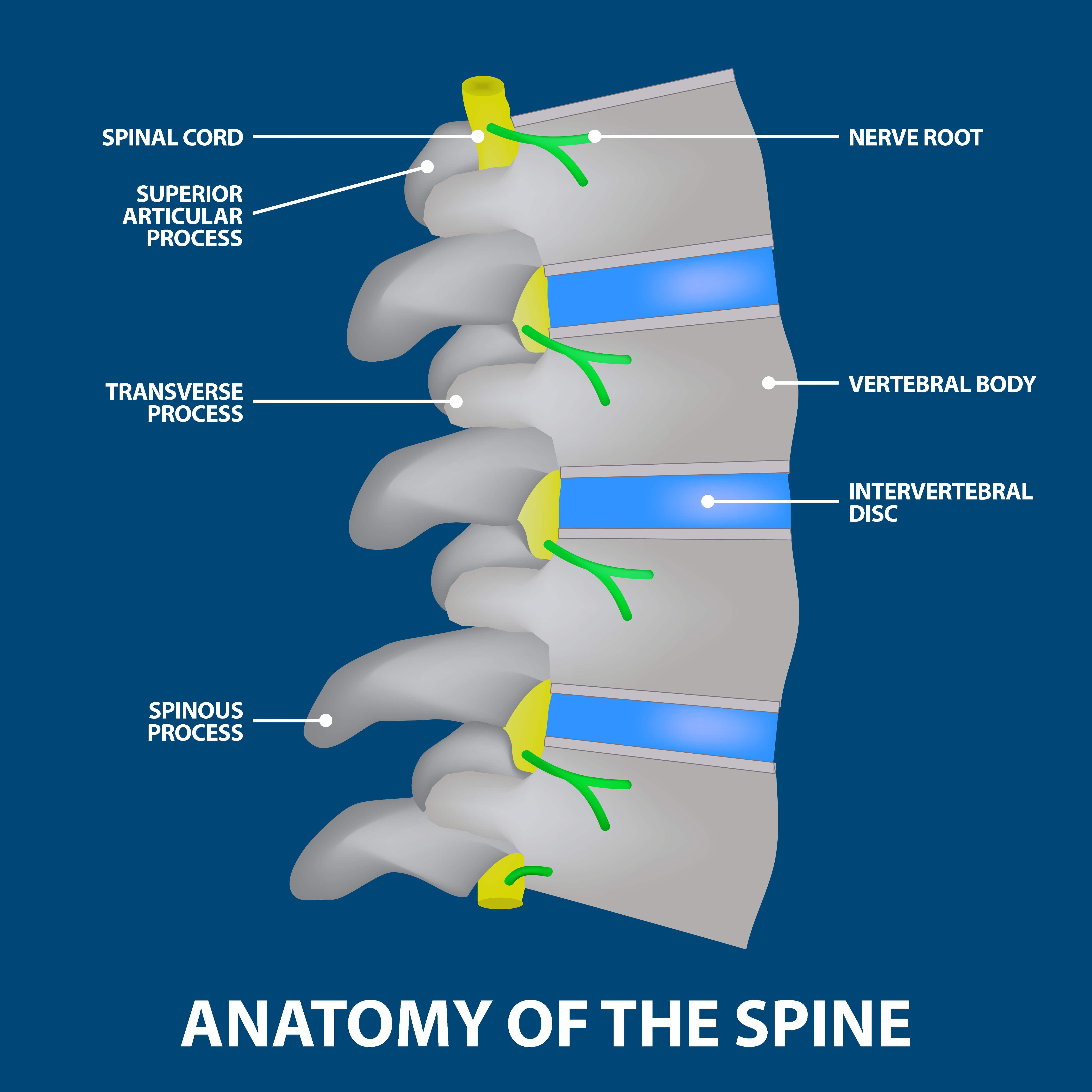 Discitis, the anatomy of the spine graphic