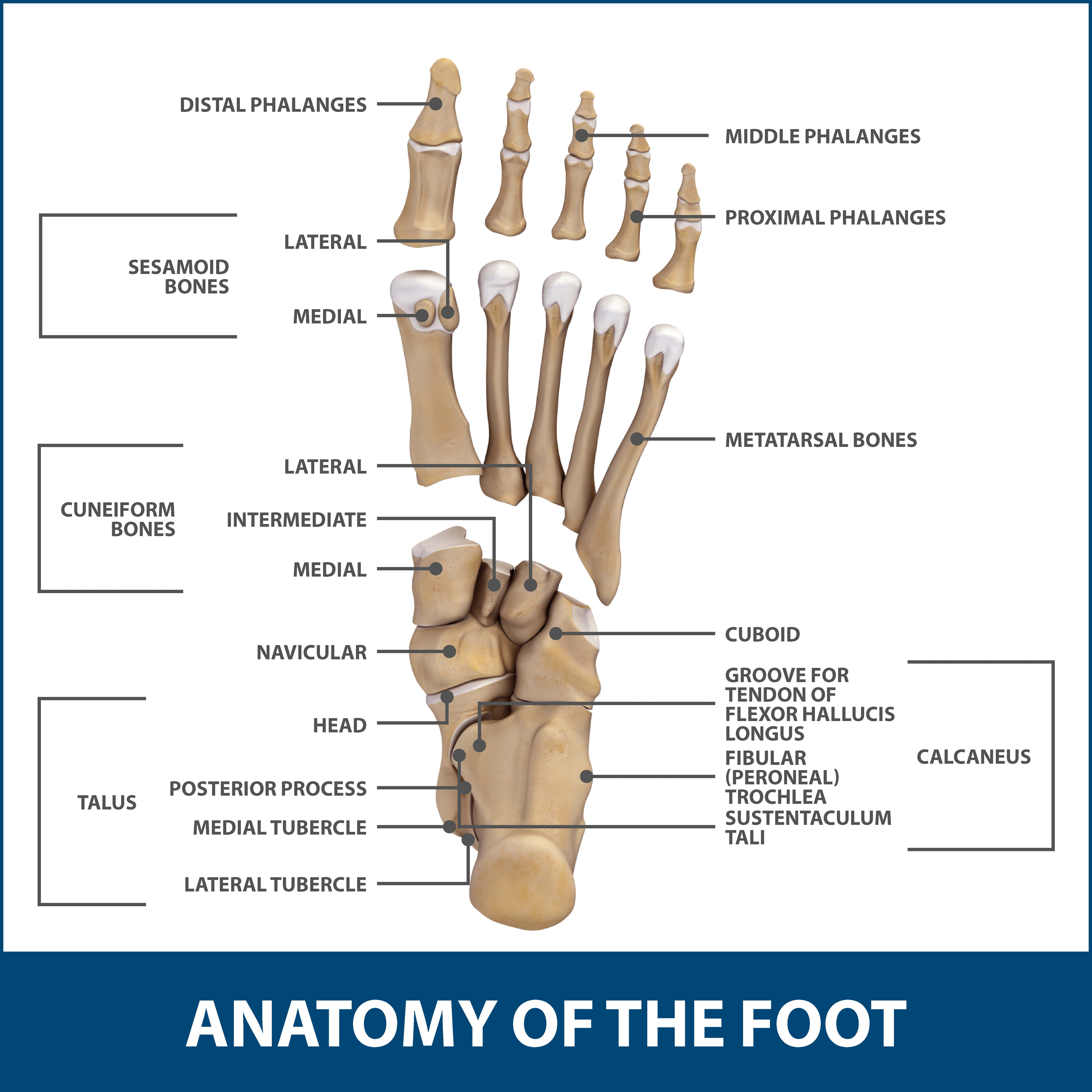 Anatomy Of A Great Picture: Foot Anatomy Toe Joints