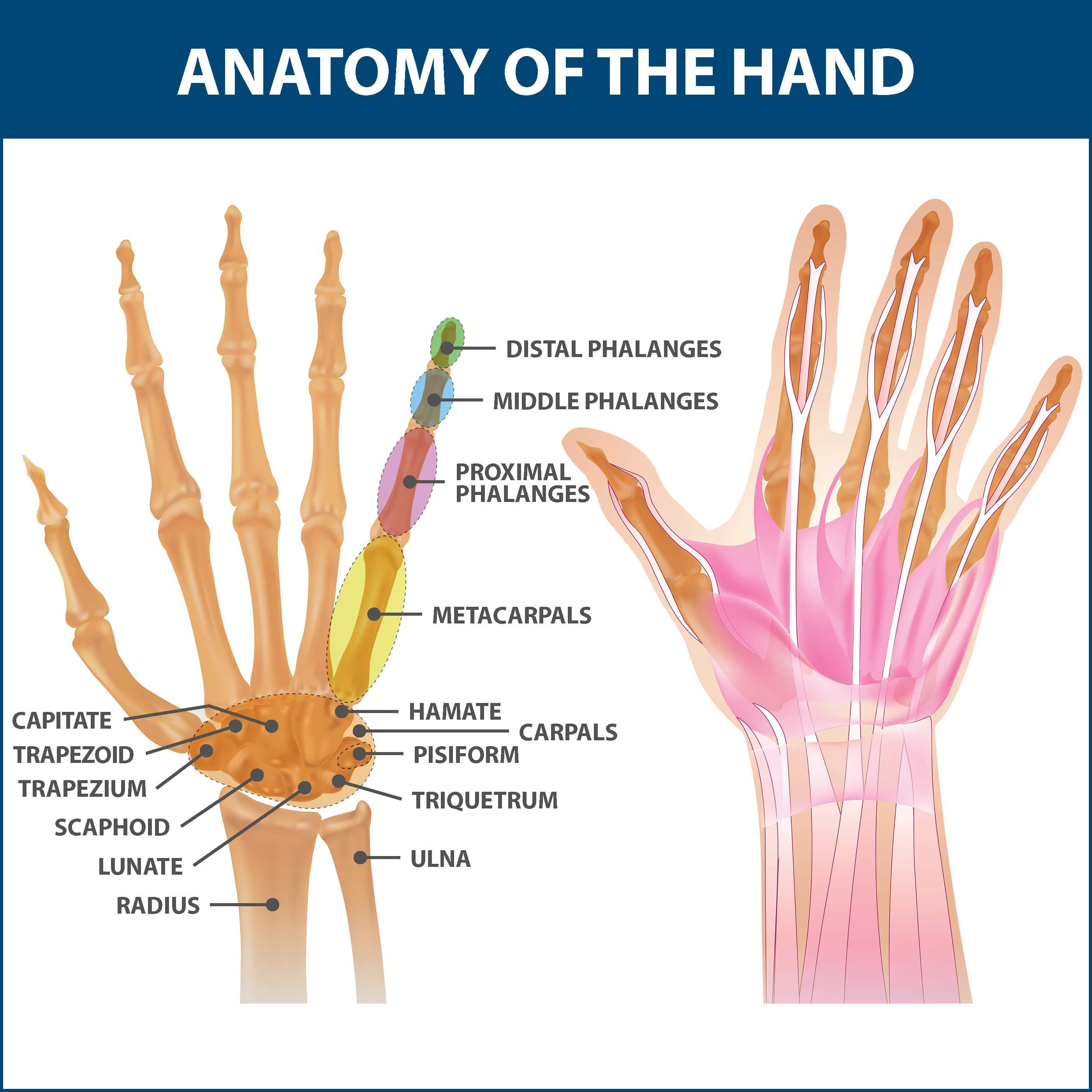 Rheumatoid Arthritis Anatomy of the Hand